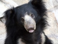rescued bear in agra india