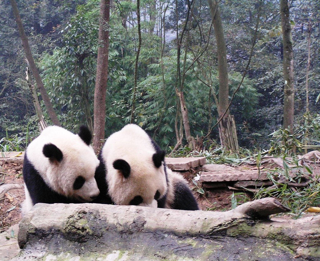The Best Place to See Pandas in China ReadyClickAndGo