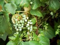 chinese vines