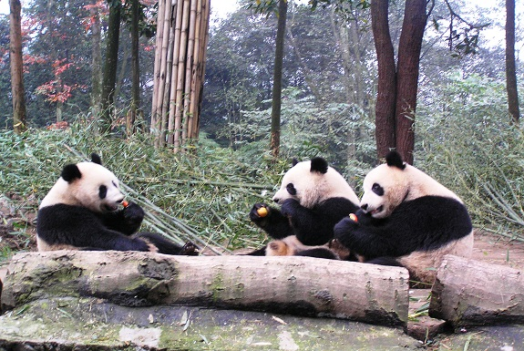 The Best Place to See Pandas in China, ReadyClickAndGo