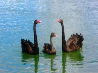 Black Swan at the Little Marlow, Buckinghamshire
