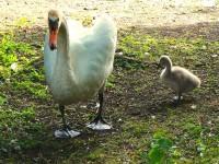 Swans ReadylickAndGO