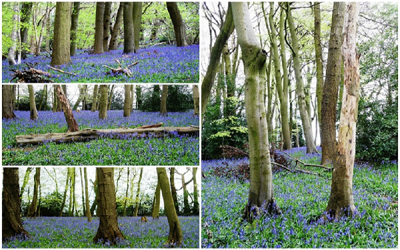 Bluebells in Buckinghamshire, ReadyClickAndGo
