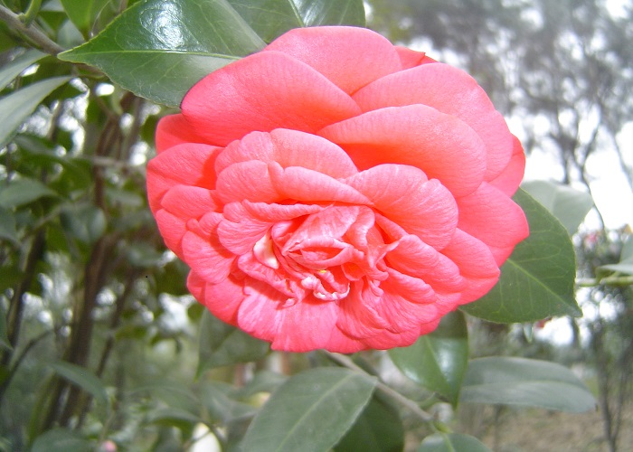 Camellias in China readyclickandgo