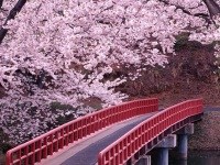 cherry-blossom in japan readyclickandgo