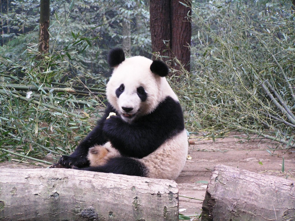 The best place to see pandas in China